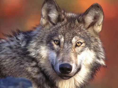 Под Севастополем волки начали нападать на людей