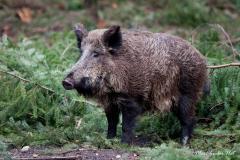 У Рівненській, Житомирській та Київській областях зафіксовано випадки загибелі тварин від африканської чуми свиней