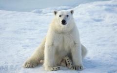 Білі ведмеді можуть повністю зникнути до 2025 року