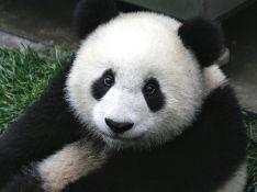 """Ученые выяснили, что панды обладают уникальным """"режимом дня"""""""