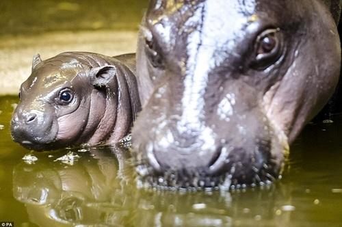 Бристольский зоопарк впервые показал детеныша редчайшего либерийского карликового бегемота