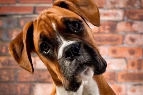 Почему собаки наклоняют голову набок?