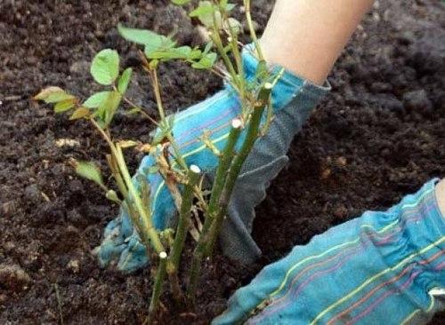 Высаживаем привитые и корнесобственные розы