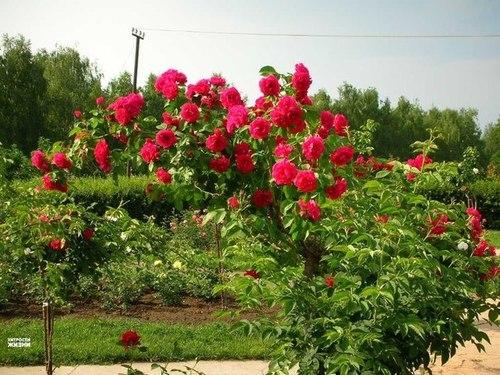 6 ошибок в выращивании роз в саду
