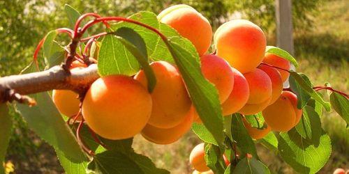 Полезные свойства абрикос