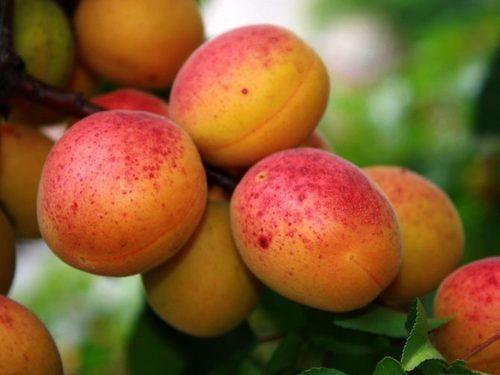Абрикосовое дерево: особенности выращивания