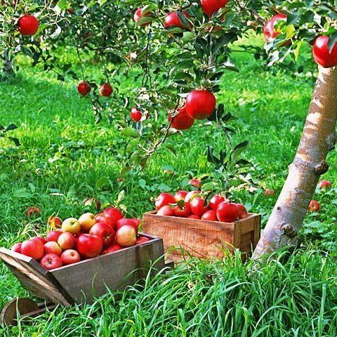 Как правильно удобрять яблони? 5 полезных советов