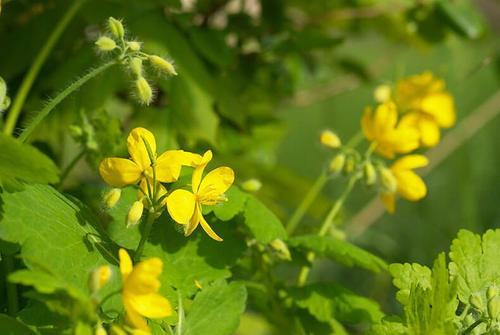 Чистотел для сада и цветника вместо ядохимикатов