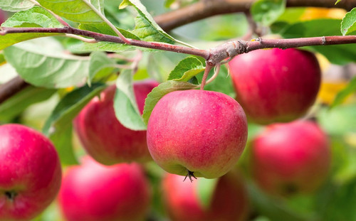 Чтобы яблони были урожайными: 9 советов опытных садоводов