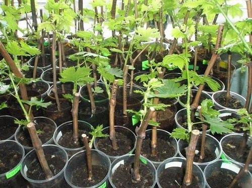 Отличный способ быстро и надежно вырастить черенки винограда