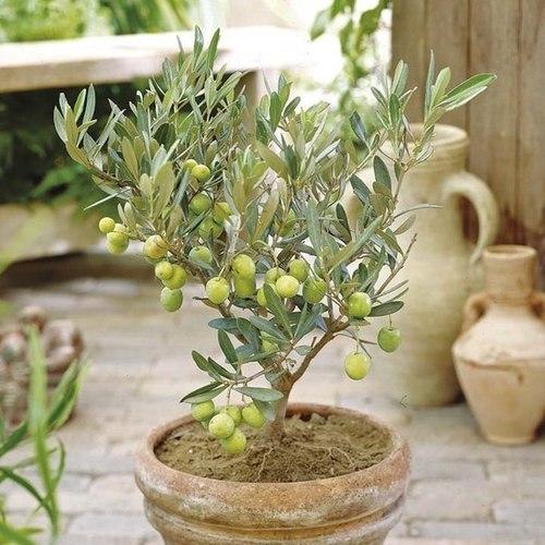 Выращиваем оливковое дерево в домашних условиях
