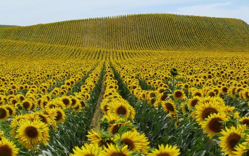 Каждый пятый гектар в Украине засеют подсолнечником - Минагропрод
