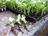 Сеем капусту – особенности и слабые стороны