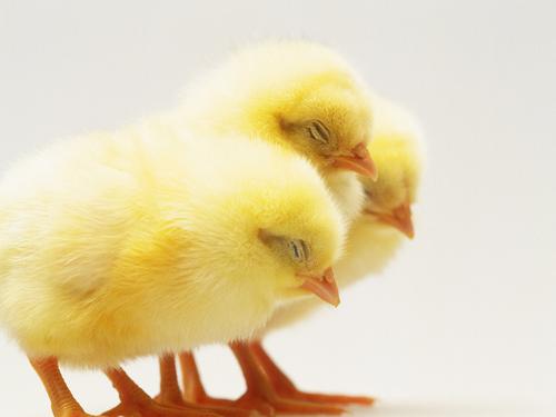 Француза судили за домогательство к цыпленку