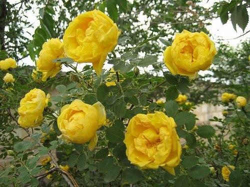 Как отличить шиповник от розы?