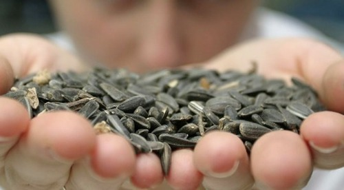 Привычка грызть семечки может подорвать здоровье печени