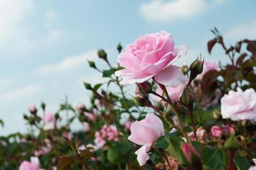 Боремся с тлей на розах без химии