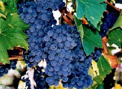 Морозоустойчивые сорта винограда