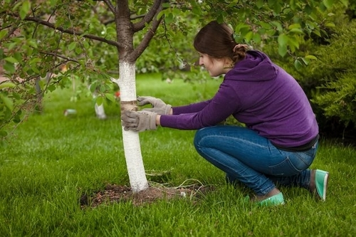Ловчие пояса спасают сад от вредителей