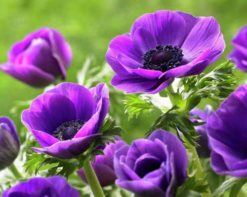 Анемона в вашем саду: правильный уход, посадка, размножение