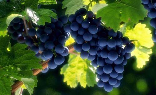 Как ускорить созревание винограда