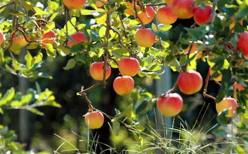 Яблоня:  как правильно ее выращивать, чтобы собрать богатый урожай сладких плодов