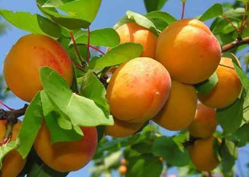 Как правильно сушить абрикосы