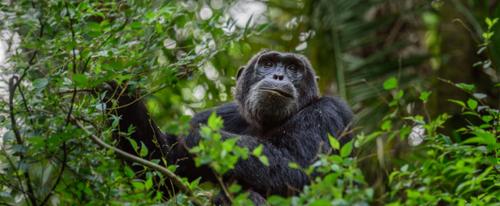 Массовая мутация обезьян в Уганде