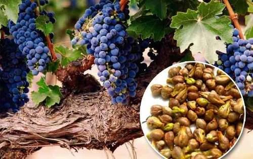 Полезные свойства косточек винограда