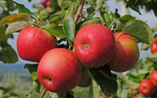 Самые полезные свойства яблок