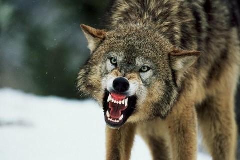Дрон впервые заснял схватку волка и лося в воде