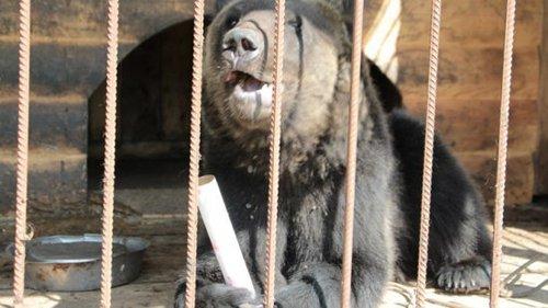 Под Воронежем, сбежавший из частного зоопарка, медведь съел пенсионера