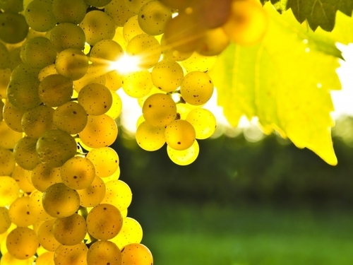 Как правильно укрыть виноград на зиму?