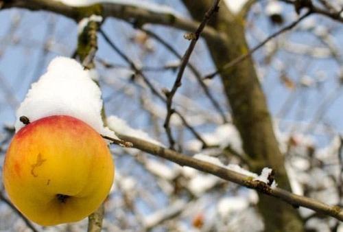 Как повысить зимостойкость яблони