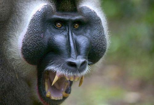 Стая голодных обезьян напала на людей