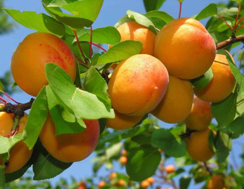 Абрикос – секреты выращивания
