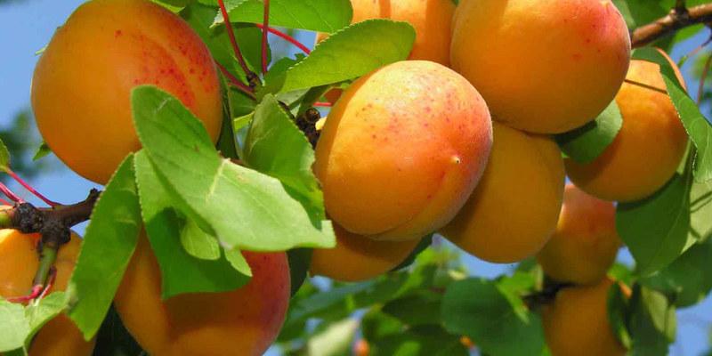Выращивание абрикоса в тамбове 22