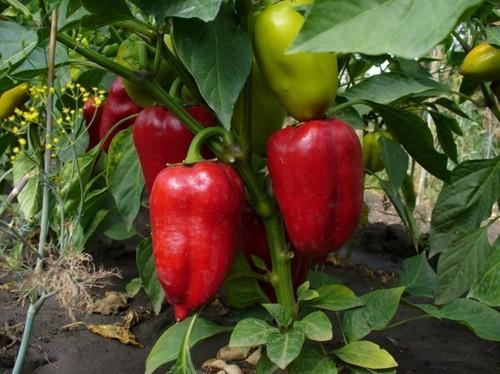 Перец: агротехника выращивания от семени до сочного плода