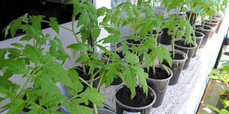 Выращивание помидор из своих семян 483