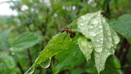 Надежное средство от муравьев в саду