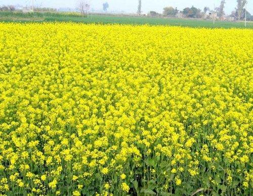 Горчица - зеленое удобрение: польза, посадка, выращивание, применение