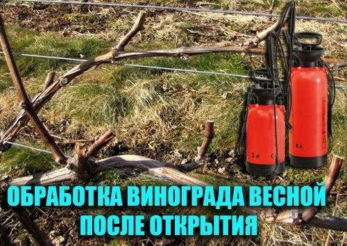 Опрыскивание виноградной лозы ранней весной