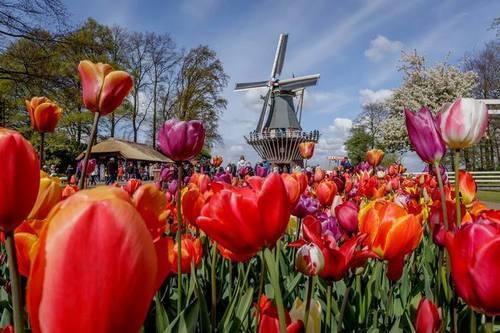 В Нидерландах официально открыт сезон тюльпанов