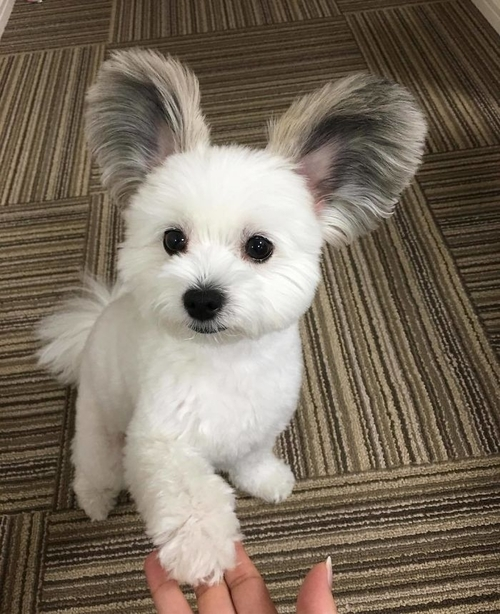 Этот щенок с ушами Микки Мауса