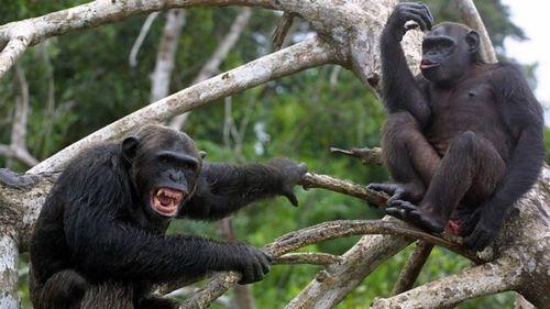 Что стало причиной кровавой четырехлетней войны среди шимпанзе