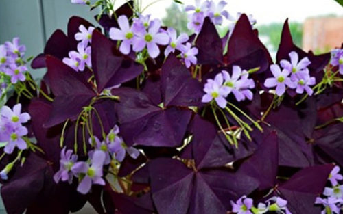 Комнатные растения, которы принесут любовь в дом