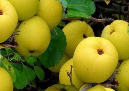 Айва – посадка и выращивание