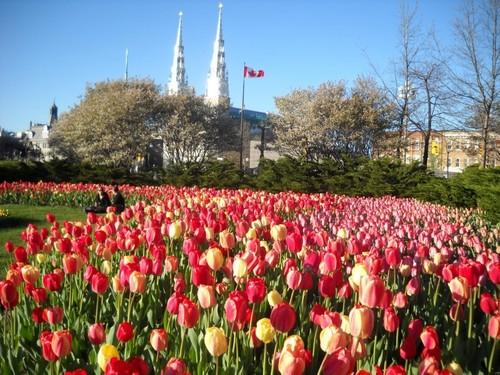В Канаде стартовал фестиваль тюльпанов