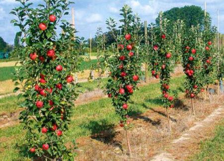 Колоновидная яблоня: обрезка и нормирование урожая