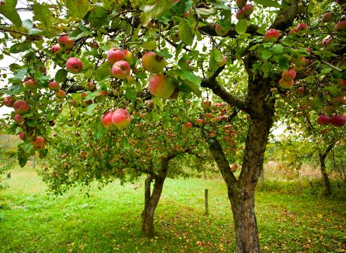 Можно ли сажать яблоню на место старой